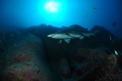 SWRAUG2010 215 (Custom) (AussieByron) Tags: fish rock southwestrocks swr gns greynurseshark tokina1017mm nikond90 aquaticahousing wwwsouthwestrocksdivecentrecomau
