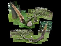 Broken Oak (panoramic diptych) (crows_in_trees) Tags: autostitch tree oak diptych montreal panoramic fallen polyptych mountroyalcemetery brokenoak
