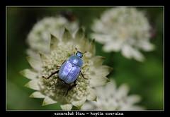 Escarabat blau (Jor El Son) Tags: macro fauna insect flora nikon micro catalunya nikkor 60 insecte cadi pirineo insecto pirineu macrofotografia moixero d700 hopliacoerulea escarabatblau