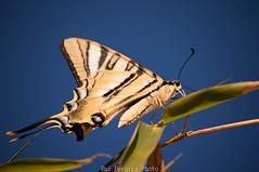 Papilio Machaon (Ruiworld) Tags: butterfly insect tiger borboleta tigre insecto