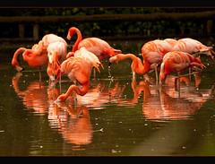 Flaming Flamingoes ~ HPPT! (Jay Bees Pics) Tags: reflection canon flamingoes ngc npc soe 2010 chesterzoo coth topshots magicofnature bej fantasticnature 450d mywinners gs5 iconiclandmark natureselegantshots redmatrix bestofmywinners mygearandmepremium mygearandmebronze mygearandmesilver btg3