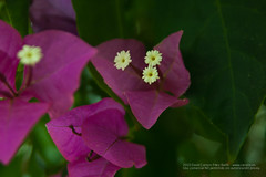 Buganvilla en flor en Caleta de Velez