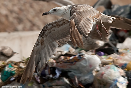 Lesser Black-backed Gull, 2cy, R[H.871]