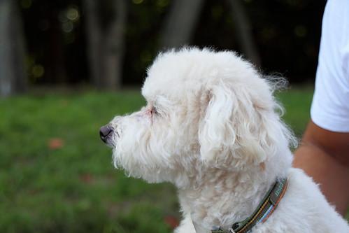 Poodle Profile