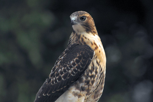 red tailed hawk chimney III 8 2008