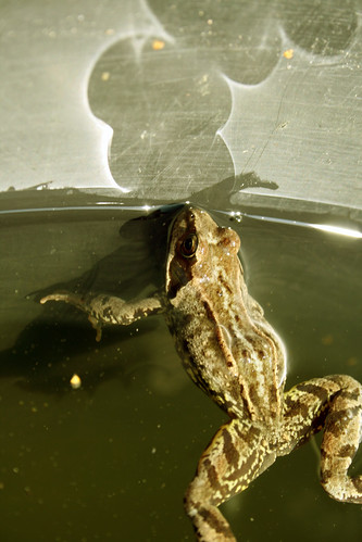 Frog in the tub 1