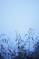 reaching up (silviasif) Tags: blue camping sky grass fog july straws 2010 hlmavksafjrur