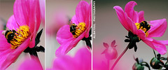 Flower & Bee (Albatoul.H) Tags: pink nature natural bee environment insect flower plant  flowers                   maicro