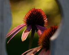 What's Out There? (ladyinpurple) Tags: pink flower macro echinacea coneflower