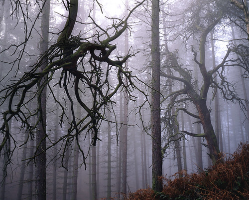 Creepy trees in the mist cannock chase by quaregeg