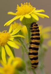 Cinnabar Moth Caterpillar (Cath Scott) Tags: ngc moth bedfordshire caterpillar larvae larva leightonbuzzard cinnabar linslade qpcc tyria jacobaeae belitecaterpillarsandlarvaeb