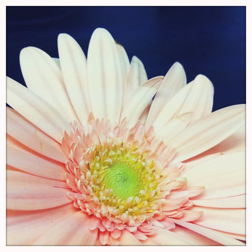 Light Pink Gerbera