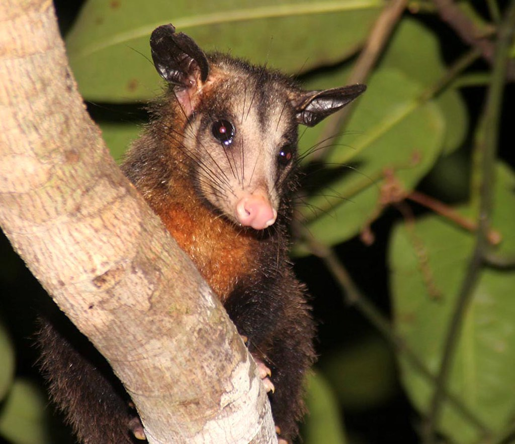 how to stop possums climbing trees