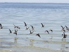 hqi du (dmathew1) Tags: beach nature birds stpetersburg shoreline shorebirds crescentlake oldnortheast