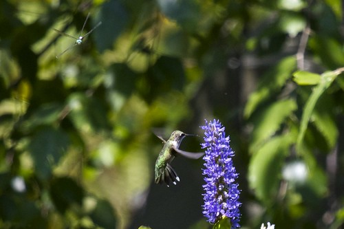 Hummingbird (Trochilidae) On Pickerelweed (Pontederia) Buzzed By Dragonfly (Anisoptera)
