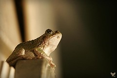 Tree Frog Staring at Light (rossdesignworks) Tags: frog treefrog commontreefrog