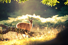 another magical morning (andrew evans.) Tags: lighting morning summer england sun nature fairytale forest sunrise golden countryside kent woods nikon bokeh wildlife warmth deer ethereal wonderland storybook magical 70200 f28 enchanted d3