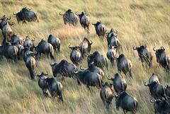 Water Buffalo From Above (Dave Schreier) Tags: africa above david hot water dave tanzania buffalo kenya air ballon mara maasi schreier wwwdlsimagescom