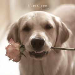 {231/365 2010}  I Love You (VeryViVi) Tags: old pink dog love rose vintage sweet romantic iloveyou doggy 500x500 thelittledoglaughed englishgoldenretriever missvivigold veryvivi ldlportraits