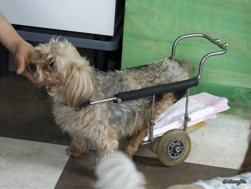 Handicapped Yorkshire Terrier (의족을 한 요크셔테리어)