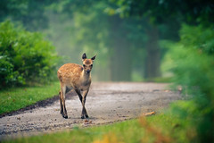 dainty (andrew evans.) Tags: morning trees summer england nature fairytale forest countryside kent woods nikon bokeh wildlife deer wonderland storybook magical 70200 f28 d3