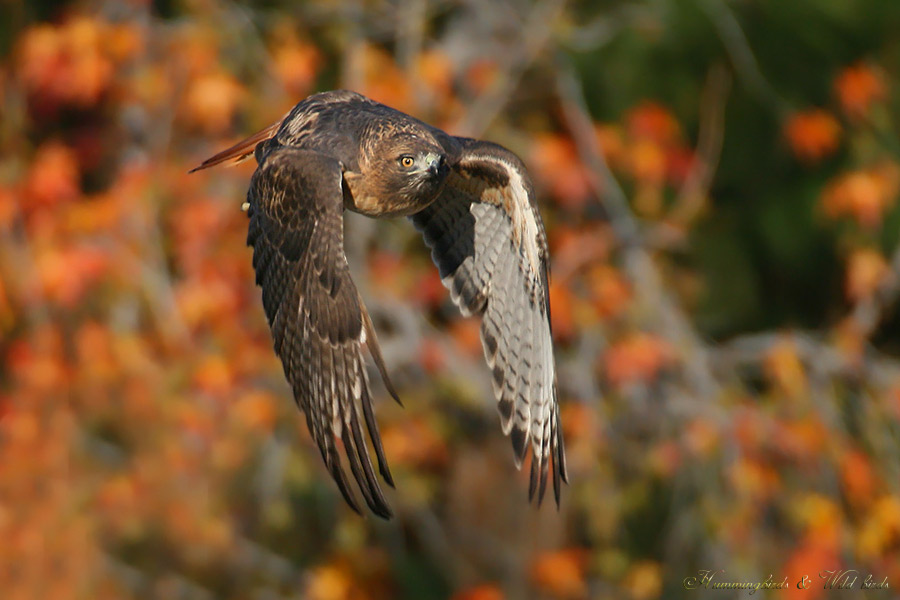 Red-tailed-Hawk-120913