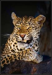 Warning (hvhe1) Tags: africa game nature animal cat warning southafrica bravo kat wildlife safari leopard bigcat predator mala fang snarl luipaard naturesfinest malamala privategamereserve specanimal hvhe1 hennievanheerden rattrays