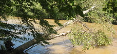 Tree extending out over the river