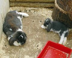 Bunnies at rest. Rabbits sleep (Daves Portfolio) Tags: pet pets rabbit bunny bunnies rabbits winghamwildlifepark