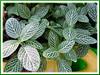 Fittonia albivenis or F. verschaffeltii var. argyroneura 'Nana' (Mosaic Plant, Nerve Plant, Painted/Silver Net Leaf, Silver Fittonia/Nerve/Threads, Snakeskinplant)