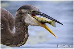 20100825-0750 Great Blue Heron (Earl Reinink) Tags: fish bass perch catfish greatblueheron greatblueheronwithfish earlreinink wwwearlreininkcom wwwipaintca