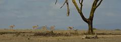 Running Impalas - Crescent Island, Lake Naivasha, Kenya