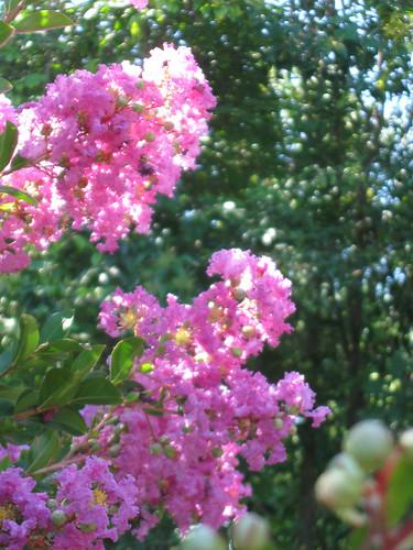 crepe myrtle pink
