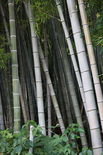 bamboos thicket