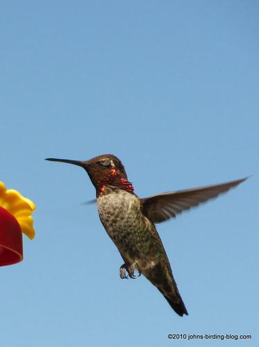 Young Anna's hummingbird 2