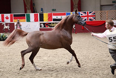 arab shown in hand: Towerlands Braintree, Essex UK (pg tips2) Tags: show uk summer horses horse free competition event international arab ponies arabian aug youngster essex equine 2010 equus shown arabs arabians equines inhand towerlands arabhorse arabhorses ukessex ukiahs ukinternationalarabhorsesociety2010