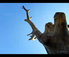 sculpture (RC Sreejith | ) Tags: sculpture fossil bluesky oldtree afterlife cleansky sreejithrc rcsreejith