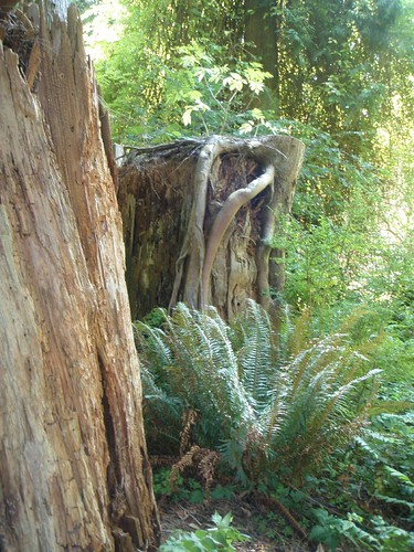 twisty roots on nurse log stump