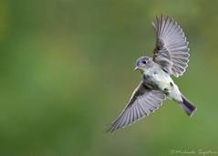 Eastern Wood-Pewee (~ Michaela Sagatova ~) Tags: bird nature inflight dundas easternphoebe bif flycatcher contopusvirens dvca michaelasagatova