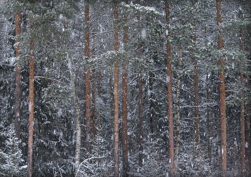 skog, tallar, snö, snöar, vinter