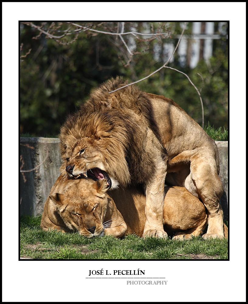Apareamiento de leones yahoo dating