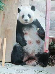 Beautiful (Floralcolours24) Tags: white black animals zoo sticks panda chaingmai fedup chaingmaizoo