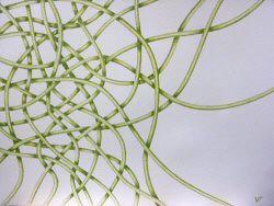 Dessin au crayon représentant un labyrinthe de lianes végétales dans les tons verts dont la partie gauche est dense et qui s'étire vers la partie droite de dimension 50x65cm – Sandrine Vallée