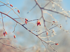 Frosty Rose Hips (~ Maria ~) Tags: blue winter light red sun cold frozen frost rosehips