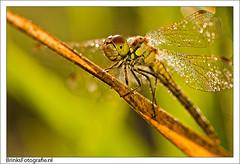 Dragonfly early in the morning (BrinksFotografie) Tags: macro animal nikon dragonfly sb600 natuur micro nikkor libelle dier zon dauw flits beest 105mm libel najaar juffer 105mmf28 vroeg smorgens brinksfotografie