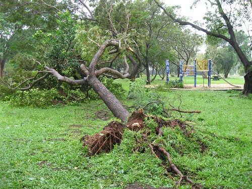 After TC Carlos - Tree down in local park, Moil