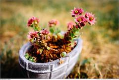 Steingewächse im Garten (Marcus' Pictures) Tags: blume pflanze steingewächs stoneplant