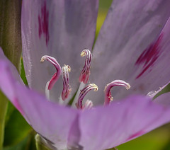 Pink Curl's. (Omygodtom) Tags: wildflower meadow outside sunshine macro mist bokeh pink tamron tamron90mm nikkor 7dwf natural nature nikon dof d7100 diamond digital star detail