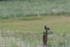 Schotland 2017-69 (Switch62) Tags: scotland 2017 mull velduil short eared owl
