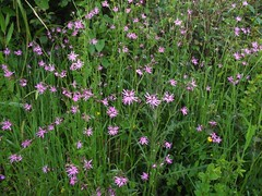 Silene flos-cuculi (Ragged Robin), Afton Marsh, Isle of Wight, 28.5.17 (respect_all_plants) Tags: raggedrobin silenefloscuculi aftonmarsh freshwatermarshes freshwater isleofwight wildflowers